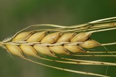 Семена озимого ячменя и тритикале ЭС, РС-1